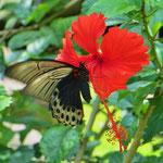 Leider halten nicht alle Schmetterlinge still, bis Pit den Fotoapparat scharf stellen kann.
