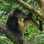 Affe im Belize Zoo.