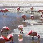 Flamingos an der Laguna Hedionda.