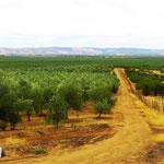Olivenhaine über viele Quadratkilometer.