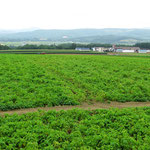 Auf Hokkaido werden auf grossen Flächen Kartoffeln angepflanzt.