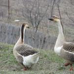 Gänse, Enten, Ziegen, Schafe können plötzlich auf die Strasse laufen.