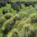 Diese Grasbüschel können zweihundert Jahre alt werden. Früher dienten sie den Bewohnern umgebunden am Körper als Schutz gegen die bissige Winterkälte.
