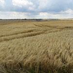 Riesige Weizenfelden gibt es jeden Tag.