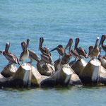 An der Karibikküste sehen wir hunderte Pelikane.