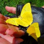 Tausende dieser gelben Schmetterlinge flattern über der Strasse und um unsere Köpfe.