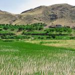 Die ersten Reisfelder in der Nähe von Miyaneh.
