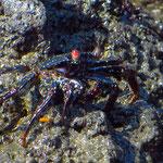 Schwarze Krabbe (?)
