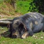 Viele Familien halten sich Schweine.