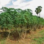 Hier wächst Maniok. Die Stauden werden zwei Meter hoch.