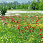 Wir können uns kaum satt sehen! Blumenwiesen nach Kaschuri.