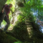 Manche Regenwald-Bäume sind riesig und wohl sehr alt.