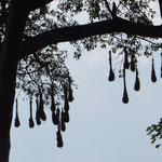 Manchmal hängen viele Nester im gleichen Baum.