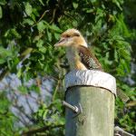 Der Kookaburra ist ein lustiger Geselle.