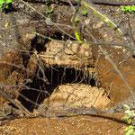Die Echsen graben tiefe Höhlen, in die sie ihre Eier legen.