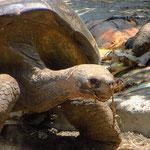 Die Riesenschildkröte wird bis zu 250 kg schwer.