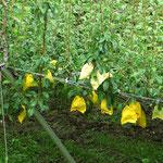Äpfel reifen im Papiermantel. Früchte sind in Japan teuer und alle riesengross, haben für unser Empfinden kaum Geschmack.