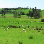 Während der ersten Woche sehen wir mehr Kühe als Schafe.