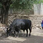 Die heilige Kuh ist hier ein Stier!