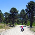 Araukarien, urtümliche Bäume, die unter striktem Schutz stehen.