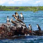 Rechts drei Galapagos-Pinguine.