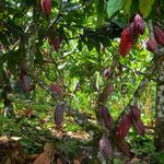 Kakaobäume mit reifenden Früchten, sie enthalten die als Kakaobohnen bekannten Samen.