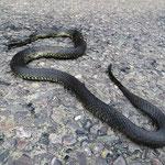 Vermutlich eine Schwarze Tansmanische Tigerotter, sie zählt zu den giftigsten Schlangen der Welt. Leider ist sie überfahren worden und (fast) tot. Die einzige Giftschlange, die wir in Australien gesehen haben.