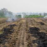 Überall werden die abgeernteten Zuckerrohrfelder abgefackelt.