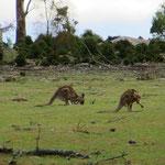Abends können wir Dutzende Kängurus beim Äsen beobachten.