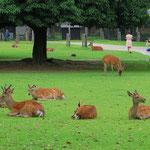 In Nara gibt es einen Stadtteil mit Park, in dem Hirsche frei laufen.