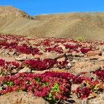 Blühende Wüste - wunderschön!
