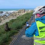 Die Robben liegen mitunter direkt an der Strasse.