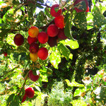 Sooo gut, die feinen, reifen Früchte!