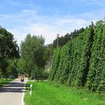 Auf dem Weg zum Bodensee durchfahren wir grosse Hopfengärten. Damit soll sogar in den USA Bier gebraut werden.
