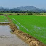 Und immer wieder Reisfelder.