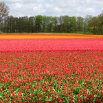 Jetzt stehen die Tulpenfelder in voller Blüte. Man kann sich kaum sattsehen.