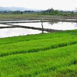 Reisfelder dominieren die Landschaft.