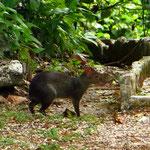 Möglicherweise ein mexikanisches Aguti, ein Nagetier, verwandt mit dem Meerschweinchen, das vom Aussterben bedroht ist.