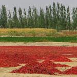 Chili-Schooten zum Trocknen ausgelegt.