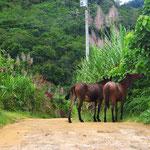 Die Pferde nehmen reissaus, Radfahrer sind ihnen nicht geheuer.