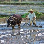 Bauer beim Pfügen auf seinem Reisfeld.