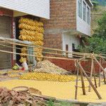 Jede Familie trocknet Mais vor dem Haus.