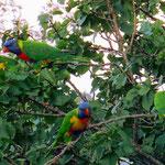 Ein paar Meter neben dem Zelt lärmt ein ganzer Schwarm dieser fantastisch farbigen Papageien.