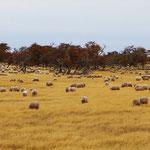 Im Süden Patagoniens dominieren grosse Schafherden.