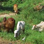 Die Kühe haben hier einen eigentümlichen Nackenbuckel.