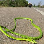 Eine grüne Peitschennatter, leider tot. Überfahrene Schlangen sind auf den Strassen häufig zu sehen.