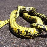 In Mittelamerika gibt es viele Schlangen. Der Strassenverkehr ist der grösste Feind.