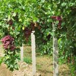 In der Region um Dunhuang gibt es viele Reben und sehr süsse Trauben.