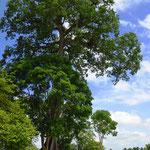 Dort wo es noch grosse Bäume gibt, sind sie oft riesig.