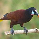 Montezumastirnvogel (Foto Jamie-MacArthur)